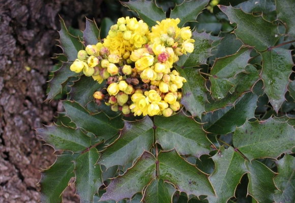 Oregon Grape (Berberis aquifolium)