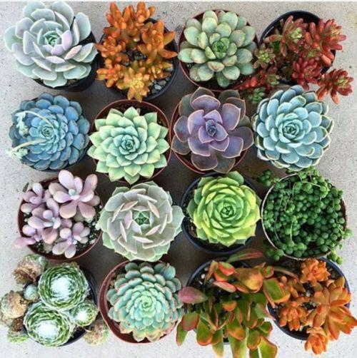 succulent plants colors