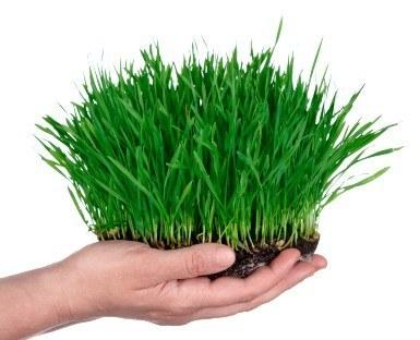 planting wheatgrass