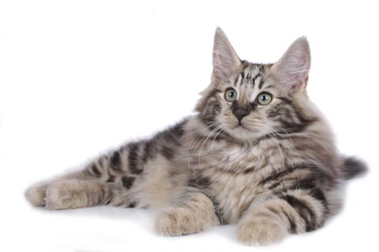 The Norwegian Forest