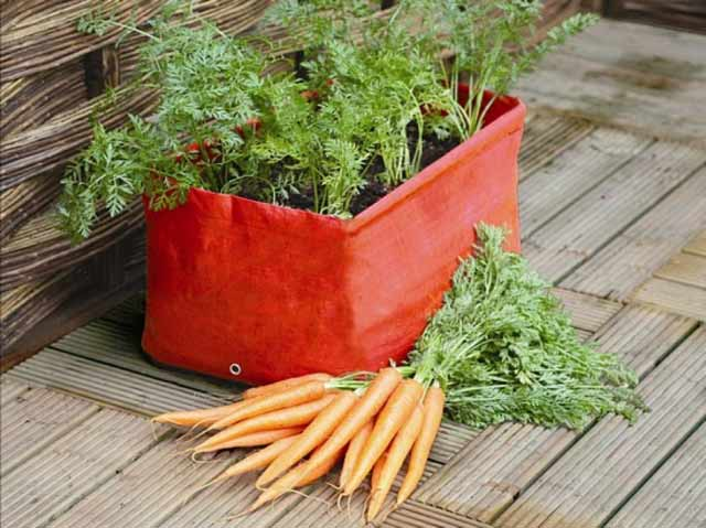 growing carrots home