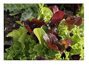 lettuce mix seed