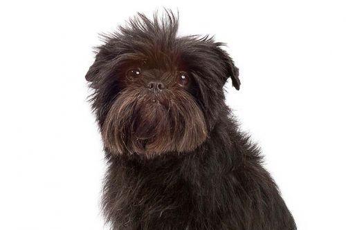Affenpinscher hypoallergenic dogs