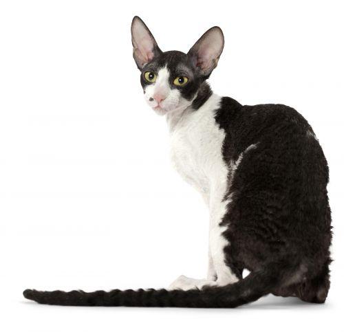 Best Hypoallergenic Cats & Cat Breeds   ThatSweetGift