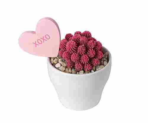 Costa Farms Pink Cacti Live Indoor Plant
