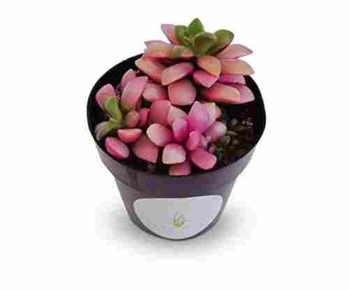 Pink Cacti Live Indoor Plant