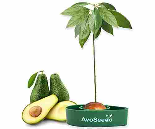 AvoSeedo: Grow Your Own Avocado Tree From a Seed!