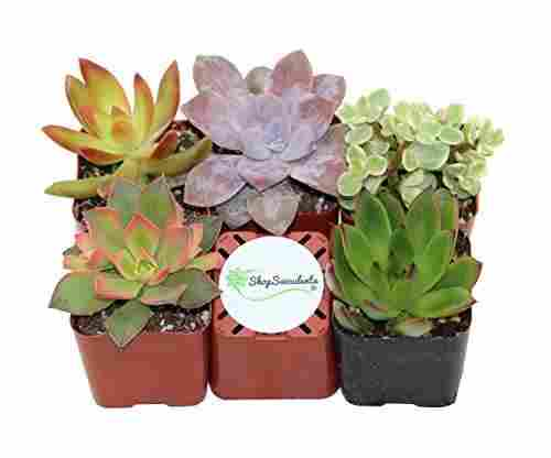 Shop Succulents: Unique Succulent Plants