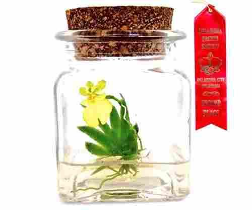 Pusilla Miniature Orchid Terrarium