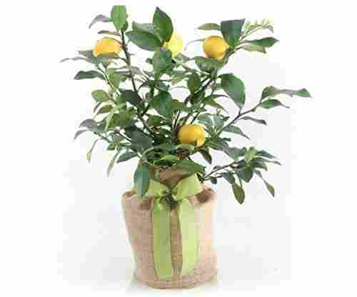 Meyer Lemon Gift Tree by The Magnolia Company
