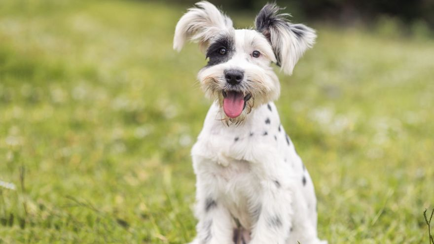 Breeds That Don't Shed: A List of Hypoallergenic Dogs!