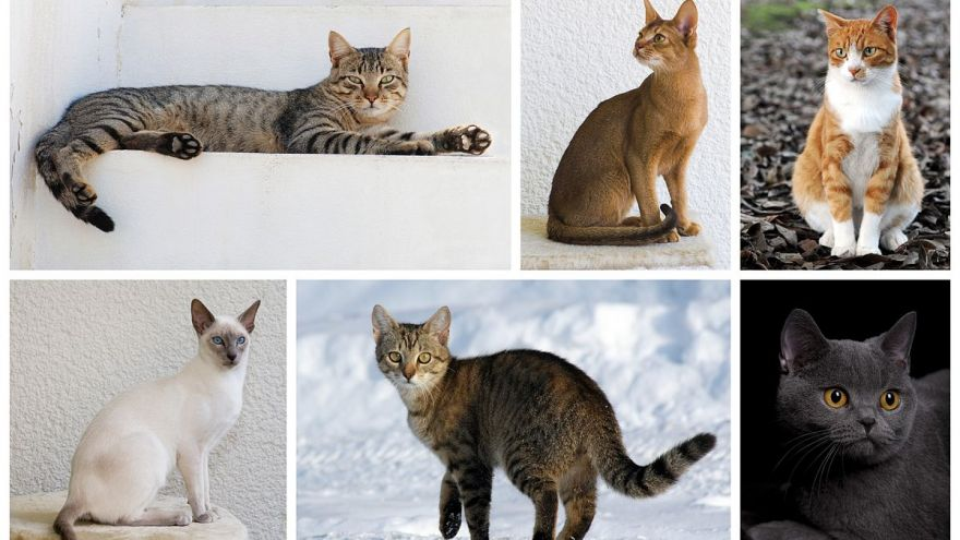 What Cat Breed Matches Your Personality? Find Out Now!