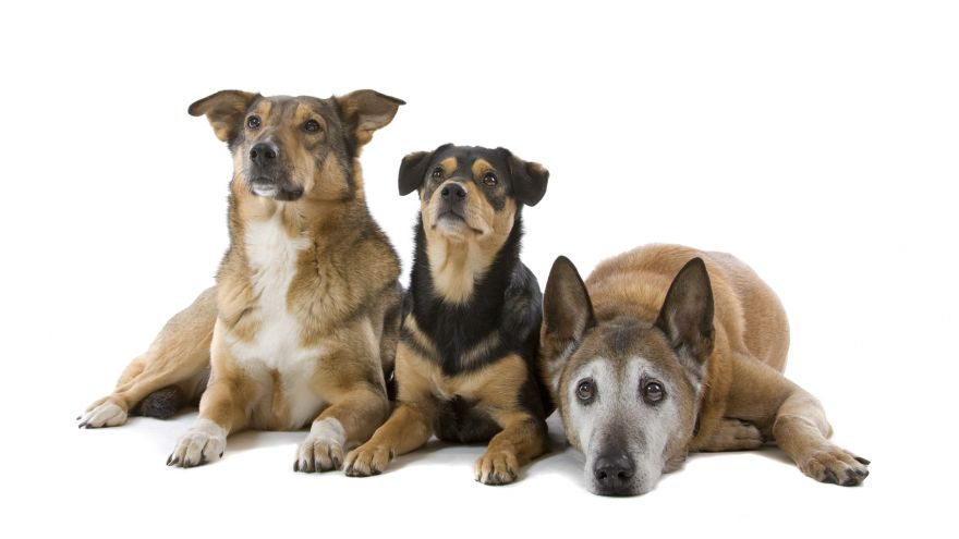 Dog Breeds that You can Trust with Your Home!