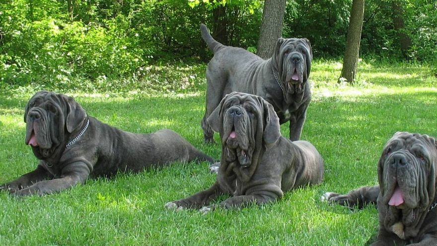 The Giant Dog Breeds We Would Adopt