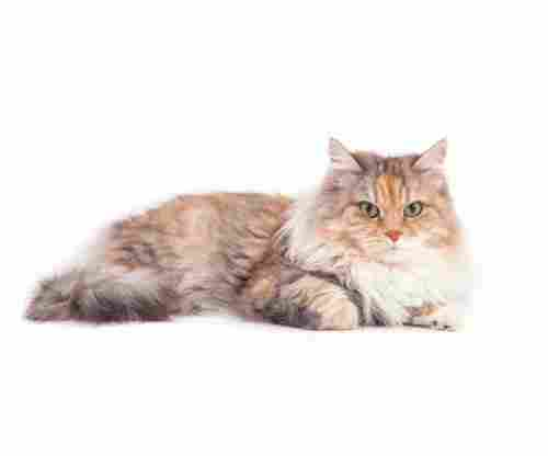 Best Hypoallergenic Cats: Cat Breeds that Won't Cause You any Allergies