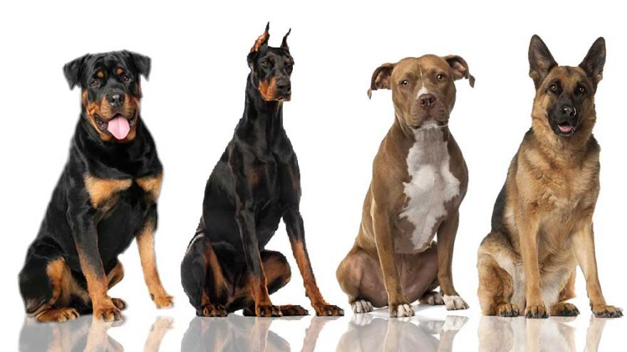Smartest Dog Breeds: Ultimate List and the Info You Will Want to Know